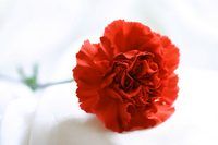 Red carnation Stock photo [237192] Carnation