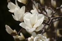 Magnolia Stock photo [238959] Yulan