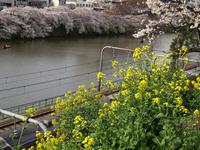 外濠の桜と菜の花