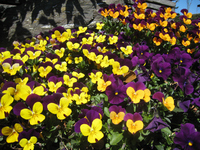 Viola Stock photo [241422] Viola