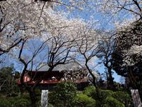 寛永寺と桜