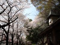 江戸川公園の桜