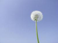 Wataboshi of dandelion Stock photo [244142] Dandelion