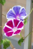 Morning glory Stock photo [284621] Flower