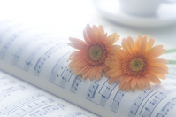 Gerbera on the score Stock photo [285391] Gerbera