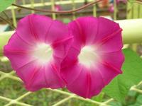 Morning glory Stock photo [390434] Flower