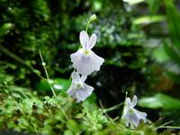 Utricularia sandersonii Stock photo [391847] Utricularia