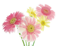 Gerbera Stock photo [394102] Gerbera