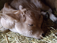 Birth of the calf Stock photo [400625] Cattle