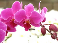 Pink Phalaenopsis Stock photo [449453] Butterfly