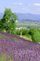 Landscape with lavender Stock photo [451838] Hokkaido