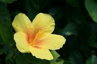 Hibiscus Stock photo [452512] Hibiscus