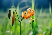 Kurmauly Stock photo [455396] Flower