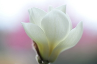 Magnolia Stock photo [457369] Yulan