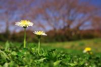 White dandelion Stock photo [459808] Dandelion