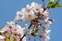 桜と青い空