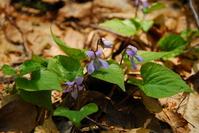 Violet asiasarum Stock photo [501313] Sumire