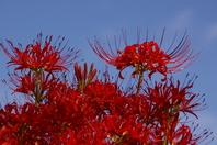 Blue sky and amaryllis Stock photo [505087] Cluster