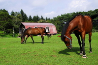 Thoroughbred Stock photo [506941] Horse
