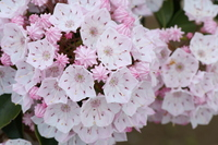 Kalmia flowers Stock photo [507308] Kalmia