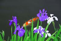 Iris and carp Stock photo [508876] Iris