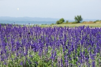 Lavender and butterfly Stock photo [509191] Hokkaido