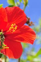 Hibiscus Stock photo [509533] Hibiscus