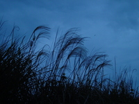 Pampas grass silhouette Stock photo [509814] Japanese