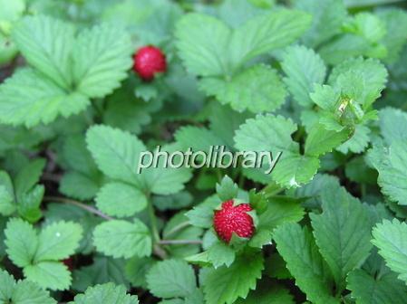 へびいちごの画像 p1_3