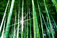 Bamboo forest Stock photo [538624] Bamboo