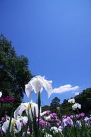 Iris and blue sky Stock photo [539080] IRIS