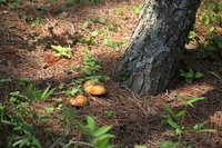 Suillus bovinus of pine forest Stock photo [539879] Suillus