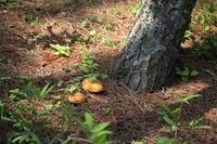 Suillus bovinus of pine forest Stock photo [539879] Suillus