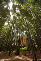Bamboo forest Stock photo [544903] Bamboo