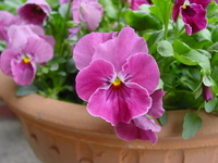 Rose Pink Pansy Stock photo [547130] Pansy
