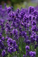 Kawaguchiko of lavender Stock photo [549237] Lavender