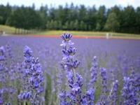 Lavender Stock photo [598231] Lavender