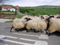 Matrix of Spain sheep Stock photo [598395] Sheep