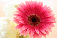 Pink gerberas Stock photo [602618] Flower