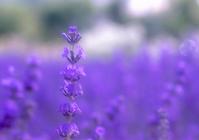 Lavender Stock photo [670434] Lavender