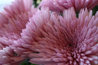 Anastasia Stock photo [676903] Chrysanthemum