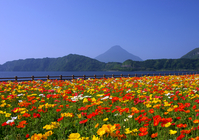 Mt. kaimondake from Lake Ikeda blooming poppy Stock photo [29107] Poppy
