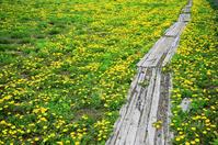Dandelion path Stock photo [29646] Dandelion