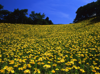 Lily bloom Plateau Stock photo [31225] Nagano