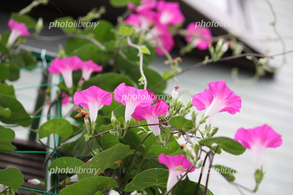 Pink lovely morning glory Photo
