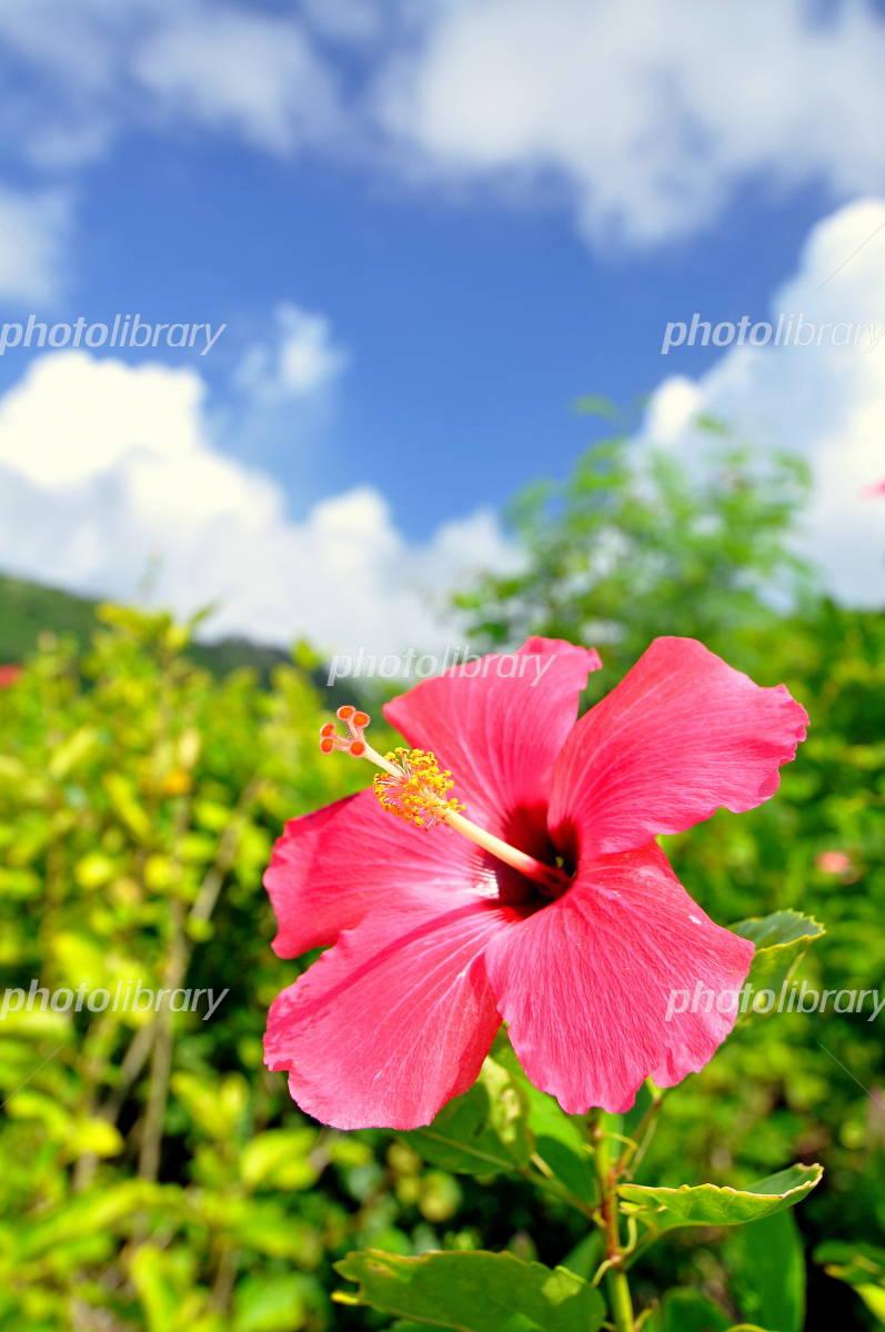 Ishigaki Island Hibiscus Photo