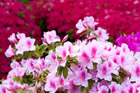 Full bloom of azalea flowers Stock photo [912648] Azalea