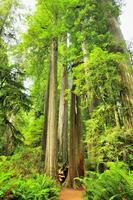 Trees towering redwood Stock photo [913207] Redwood