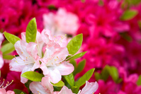 Full bloom of Kurume azalea flowers Stock photo [913613] Azalea