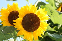 Sunflower Stock photo [914578] Sunflower
